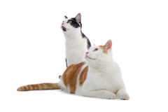 Two cats looking into distance. Close up of two cats staring into distance, isolated on white background stock photography