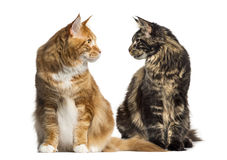 Two cats looking each other, ialosted on white Stock Photos