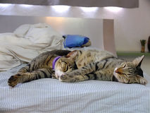 Two cats lying on bed Royalty Free Stock Photos