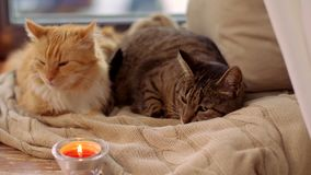 Two cats lying on blanket at home window sill. Pets, christmas and domestic animal concept - two cats lying on blanket with tealights and pinecone at home window stock video