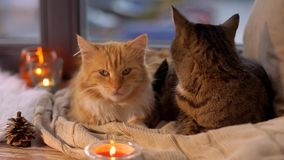 Two cats lying on blanket at home window sill. Pets, christmas and domestic animal concept - two cats lying on blanket with tealights and pinecone at home window stock footage