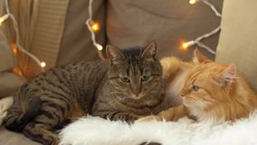 Two cats lying on sofa with sheepskin at home. Pets, christmas and domestic animal concept - two cats lying on sofa with sheepskin at home in winter stock video footage