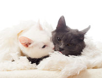 Two cats Royalty Free Stock Image