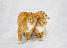 Two cats nestled to each other outdoor. In snowy background royalty free stock images