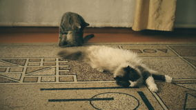 Two cats, one white with gray and the other black with brown. Two beautiful cat resting on the floor in the house of his grandmother stock footage
