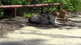 Two cats outdoors. Two domestic cats orange and sported outdoors in garden stock footage