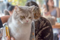 Two Cats and People. Two cats enjoying life in a coffee shop royalty free stock photos