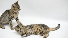 Two cats play with each other on white background, slow motion.  stock footage