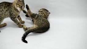 Two cats play with each other on white background, slow motion.  stock video footage