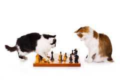 Two cats playing chess Stock Images