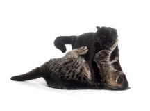 Two cats playing and fighting Stock Image