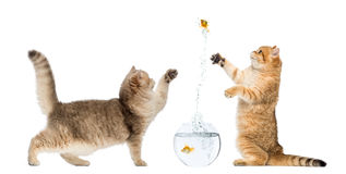 Two cats playing with a goldfish. Isolated on white Royalty Free Stock Photography