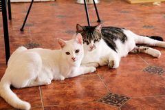Two cats portrait at home lying and relaxing. Close up of white kitten cat in house. Cute beautiful little kitty. Stock Images
