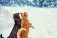 Two cats walk on snow during a snowfall. Two cats, red and striped walking on snow and looking at falling snowflakes royalty free stock photography