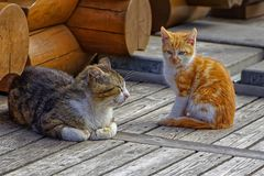 Daddy cat and red-haired kitten sitting on a wooden floor. Two cats are resting on the gray floor of wooden old boards. One little red-haired cat with white paws royalty free stock photography