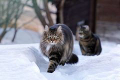 Two cats running through the snow Stock Photo