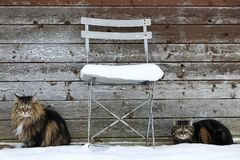 Two cats sit next to a chair in winter in front of a wooden wall Royalty Free Stock Image