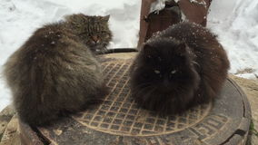 Two cats sitting on a manhole cover in winter. stock video footage