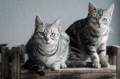 Two cats sitting on old wood shelf. Two American Shorthair cats sitting on old wood shelf royalty free stock image