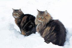 Two cats sitting in the snow. Two cats sitting together in snow curious Royalty Free Stock Image