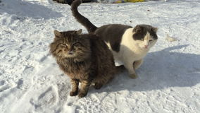 Two cats sitting on the snow in winter and play. stock video footage
