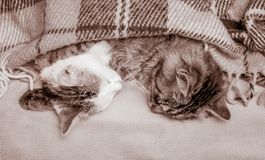 Two cats sleep in bed, covered with blanket. Strong sweet dream_. Two cats sleep in bed, covered with blanket. Strong sweet dream stock photography
