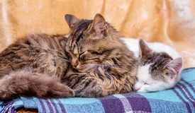 Two cats sleep on a plaid. Cats - mom and baby_. Two cats sleep on a plaid. Cats - mom and baby stock image