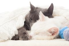 Two cats sleep Stock Photography