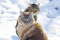 Two Cats in the Snow royalty free stock images