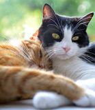 Two cats snuggle with each other in window. Two cute cats (one orange tabby and one black and white) snuggle together in a window Royalty Free Stock Images