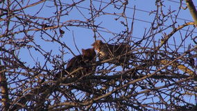 Two cats  on spring apple tree treetop branches stock footage