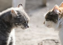 Two cats are standing opposite each other aggressive and evil mo Royalty Free Stock Photography