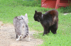 Two cats stood in a threatening posture and going to fight in the spring Royalty Free Stock Photography