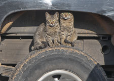 The Two Cats Stock Photography