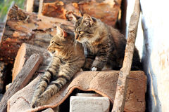 Two cats. Two striped cat, cats bask in the sun, baleen carnivores, cats asleep on the wood, cats on the background of wooden logs, pets royalty free stock photography
