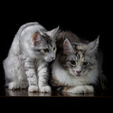 Two cats on a table Stock Image