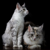 Two cats on a table Stock Images