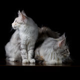 Two cats on a table Royalty Free Stock Image