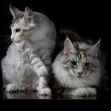 Two cats on a table. On black background stock photos