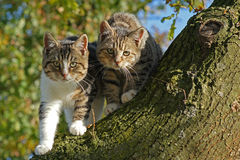 Two cats on tree trunk. Portrait of two tabby cat on tree trunk with leafy background Royalty Free Stock Image