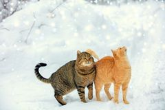 Two cats walk on snow during a snowfall. The red and the striped cats are walking in the winter forest against a background of snow drifts stock images