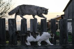 Two cats are walking on the fence. An evening walk.  Royalty Free Stock Images