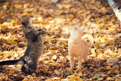 Two cats walking outdoor on the fallen leaves stock photos