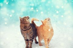 Two cats are walking in the snow. Two cats are walking in the winter outdoors, enjoying the snow. Cats are looking at snowflakes royalty free stock images