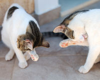 Two cats. Royalty Free Stock Photos