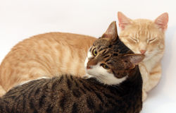 Two cats Royalty Free Stock Photography