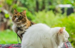 Two cats white and color royalty free stock photography