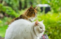 Two cats white and color royalty free stock photo