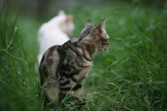Two cats white and gray striped on green grass royalty free stock photos