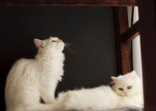 Two cats. Two white cats relaxing indoors Stock Photos